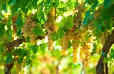 Indagine Nomisma per Consorzio Vini Piceni. L'85% italiani beve vino, futuro è green