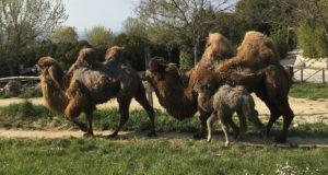 Festa allo Zoo di Falconara. E' nata Giovanna, una femmina di cammello. In arrivo le scimmie saki
