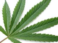 Cannabis, raddoppiate le colture nelle Marche