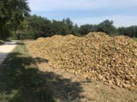 Basta zucchero straniero ! La barbabietola torna in produzione nelle Marche