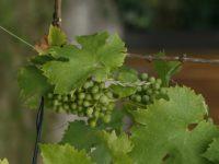 Vendemmia 2020, il vino marchigiano sarà di ottima qualità