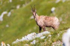 Tornano i camosci nel Parco Nazionale dei Sibillini, 180 esemplari