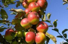 Da Montedinove alberi Mela Rosa ai Comuni per giornata ambientale