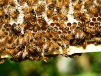 Giornata mondiale delle api. Nelle Marche crescono produttori miele