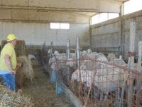 Mattatoio di Ascoli a rischio chiusura : allarme degli allevatori