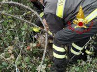 Ascoli, capriolo incastrato nella rete liberato dai vigili del fuoco