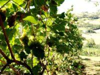 Marche, niente piogge e molta afa : la vendemmia parte a Ferragosto