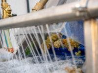 Lavaggio delle uve : da Conti degli Azzoni un sistema innovativo
