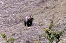 Un orso marsicano nel Parco dei Monti Sibillini